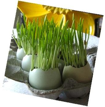 RosyPosyegggrass