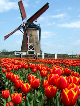 Holland windmill tulips