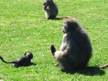 Se7en baboons