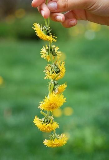 Dandelion daisy chain