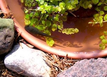 Jennifer Rizzo backyard tadpole habitat