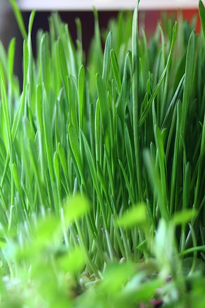 grow your own easter grass diy