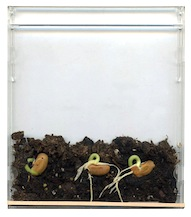 grow beans in a CD case