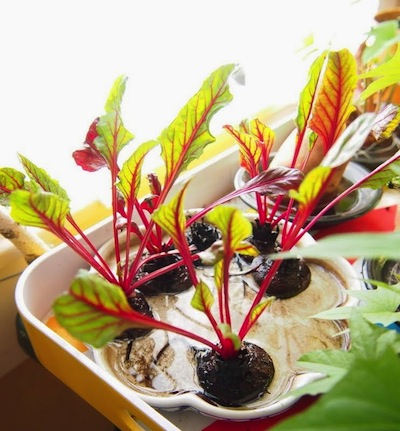 sprouting plants from kitchen vegetable scraps