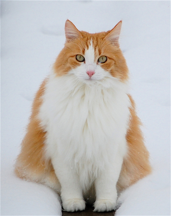 Chloe the snow cat