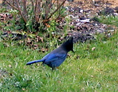 Steller's Jay - Pacific variety